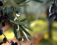 alberi-olive-imperia